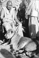 Krishnananda's tame lioness